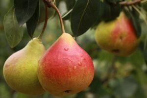 pears Pyrus communis